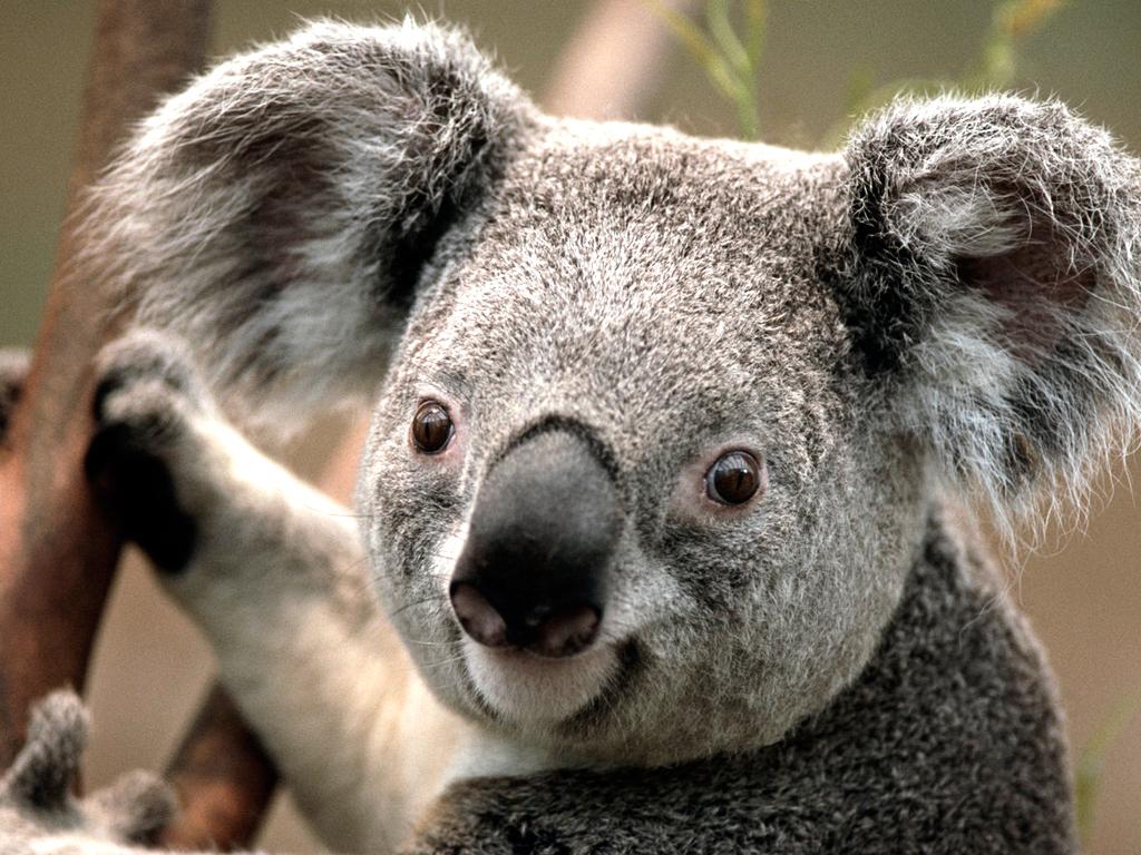 IMAGE_MEDIUM_Koala.jpg